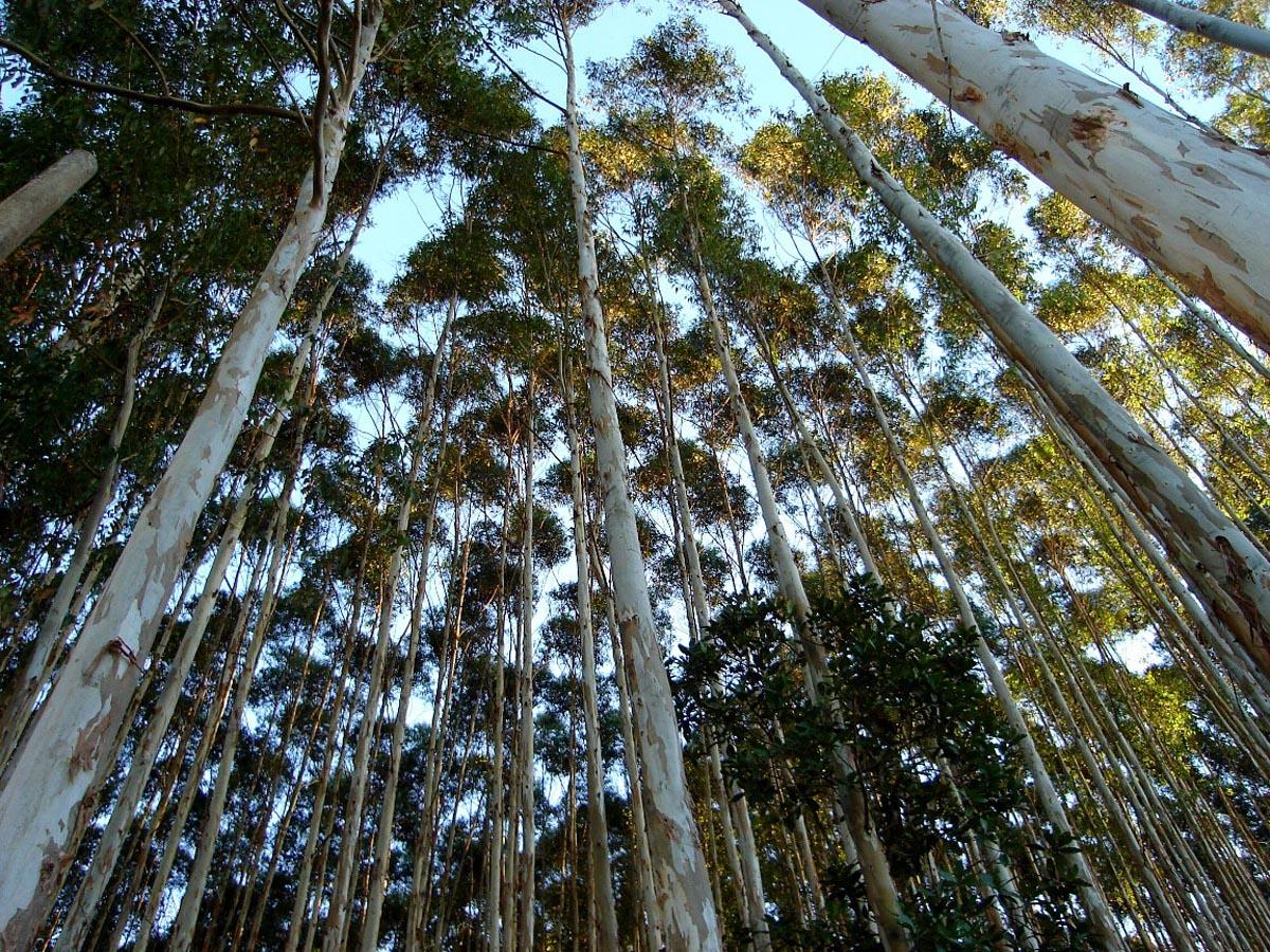 eucalipto-plantacao-reflorestamento-soier-madeiras-araguari